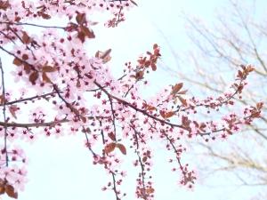 espoir de printempsP1000186